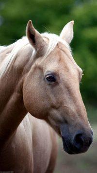 Horse Wallpaper 7