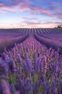 Purple Wallpaper 16