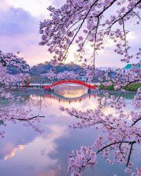 Cherry Blossom Wallpaper 13