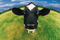 Cow Wallpaper 25