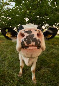 Cow Wallpaper 16