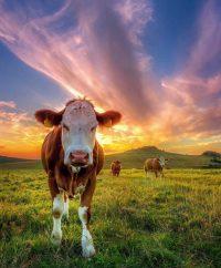Cow Wallpaper 26
