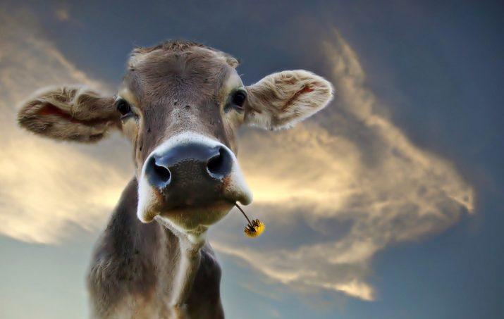 Cow Wallpaper 1