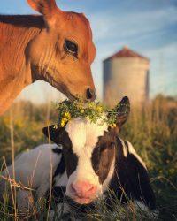 Cow Wallpaper 22