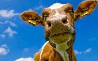 Cow Wallpaper 20