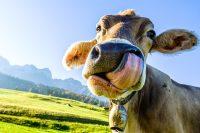 Cow Wallpaper 3