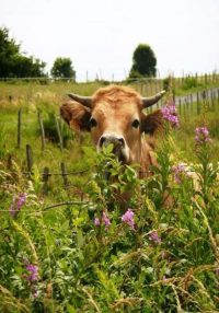 Cow Wallpaper 7