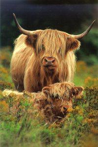 Cow Wallpaper 13