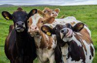 Cow Wallpaper 5