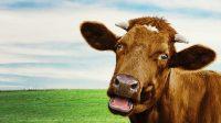 Cow Wallpaper 8