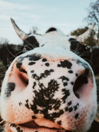 Cow Wallpaper 4