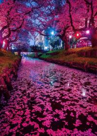 Cherry Blossom Wallpaper 9
