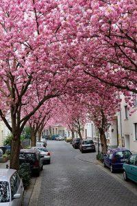 Cherry Blossom Wallpaper 7