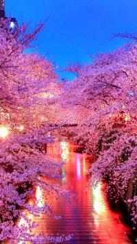 Cherry Blossom Wallpaper 4