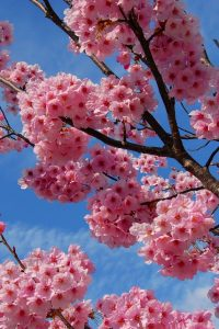 Cherry Blossom Wallpaper 2