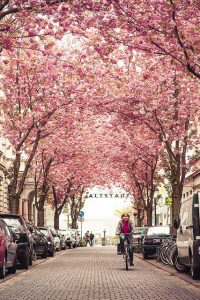 Cherry Blossom Wallpaper 11