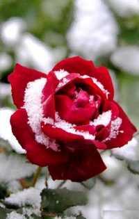 Rose Wallpaper 12