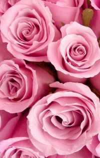 Rose Wallpaper 7