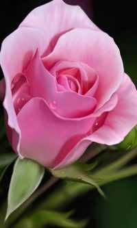 Rose Wallpaper 36